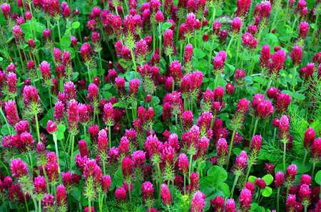 incarnate: Detail of red Incarnate clover  Stock Photo