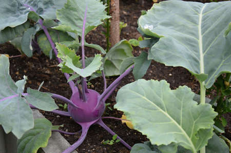 cruciferous: Turnips-Brassica vegetables in greenhouse