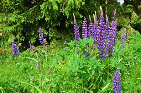 purple flowers: Purple flowers Lupinus on the meadow- wild plants Stock Photo