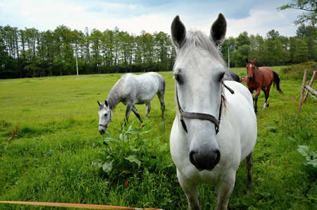 chordates: Noble animals - Horses  grazing in a green meadow