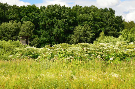 invasive species: Giant hogweed-white flowers in summer on the meadow Stock Photo