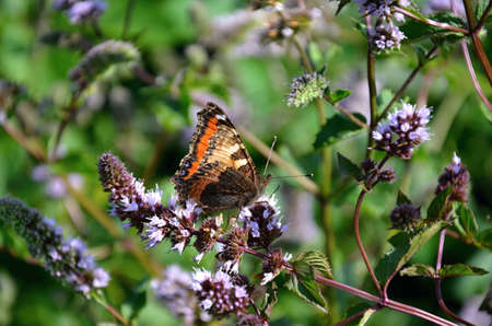 Camberwell butterfly insect with colorful wings photo