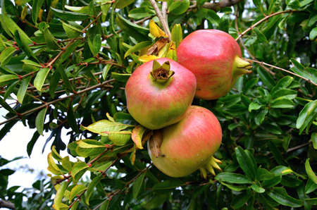 punica granatum: Aromatic fruit - Pomegranate - Punica granatum