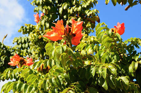 Tulip tree burning tree , tropical blossom plant tropical, exotic and thermophilic plants in  Cuba photo
