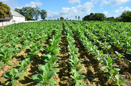 industriousness: tobacco field - detail of leaves