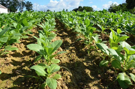 industriousness: tobacco field - detail of leaves Cuba Stock Photo