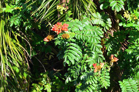 Tulip tree burning tree  , exotic and thermophilic plants in  Cuba photo