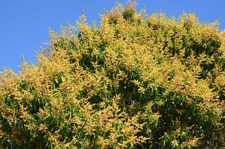 arbres fruitier: Floraison des arbres fruitiers mangue Banque d'images