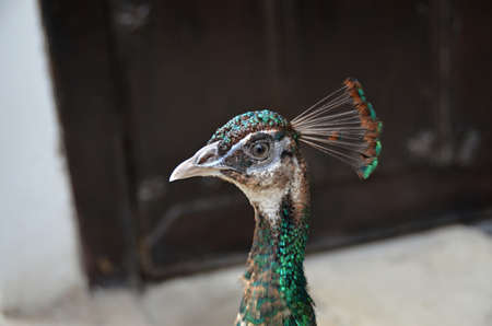 chordates: Peacock proud bird detail of head