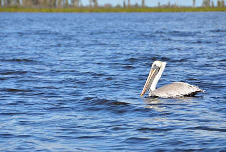 chordates: Pelican large white bird