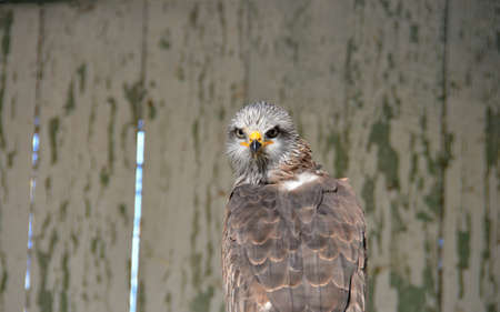 milvus: Brown  Kite in the rescue center, Milvus migrans