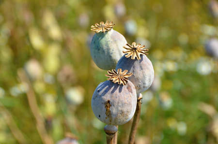 codeine: Poppy field with  unripe poppy-heads ripe opium poppy head