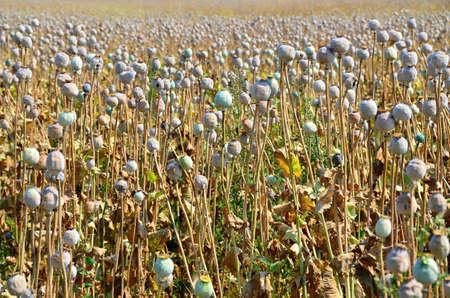 eudicots: Poppy field with  unripe poppy-heads ripe opium poppy head