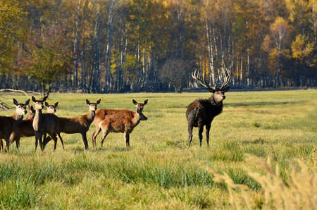 hoofed animals: Lane and deer grazing near the forest Stock Photo