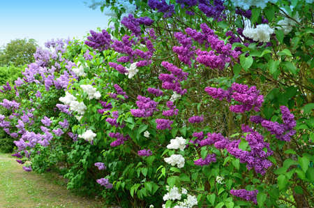 angiosperms: Lilac flowering shrub of white and purple flowers Angiosperms Stock Photo