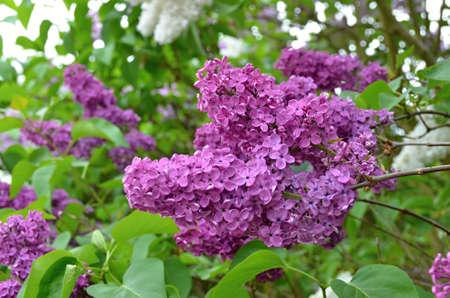 lamiales: Syringa vulgaris springtime flowering plant - flower detail