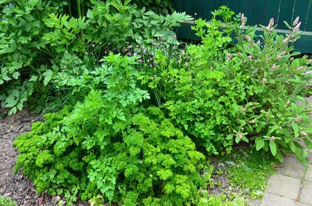 grown: Spring herbs grown in the garden