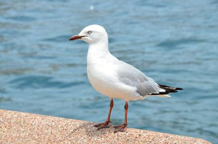 chordates: White seagull sitting on a pier