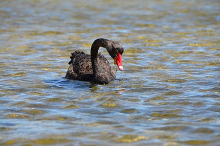 chordates: black swan with a red beak sailing the sea