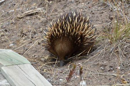 echidna: Short  beaked - echidna searching for food