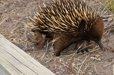 searching for: Short  beaked - echidna searching for food
