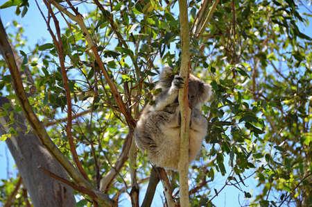 chordates: Koala sitting on eukalyptus of tree in nature Australia