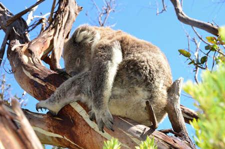 chordates: koala sleeping on the  eucalyptus tree in nature Australia