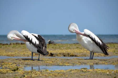 chordates: Australian Pelican on the sea in Australia Stock Photo