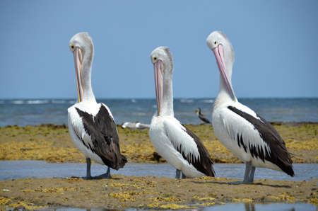 chordates: Australian Pelican  on the sea in Australia