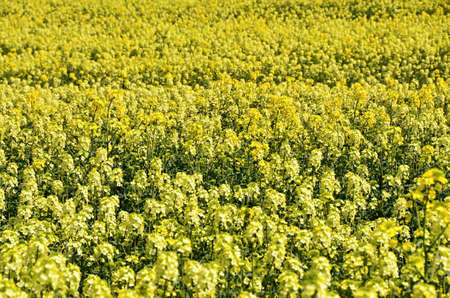 oilseed: Detail of yellow flowering oilseed rape - an agricultural crop
