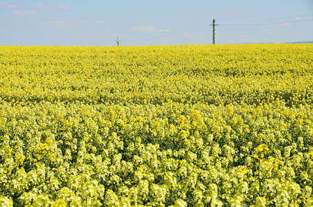 oilseed: Yellow field of canola - a food crop, Spring landscape - yellow flowering oilseed rape - an agricultural crop