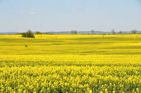 Yellow field of canola - a food crop, Spring landscape - yellow flowering oilseed rape - an agricultural crop