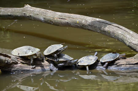 chordates: Freshwater turtle sitting in a row on a branch,