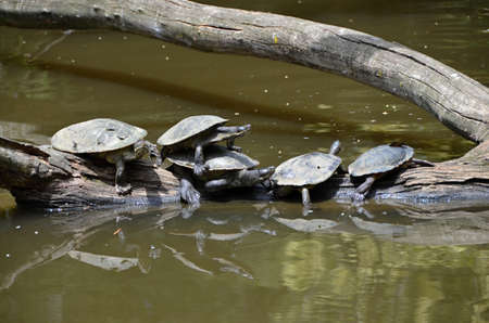 chordates: Freshwater turtle sitting in a row on a branch