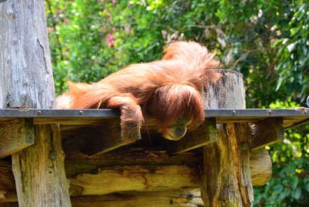 Bored orangutans lying on a branch