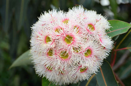 myrtales: White flowers and fruits eucalyptus eucalyptus, Eucalyptus camaldulensis