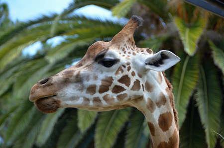 chordates: Detail Rothschild Giraffes at the Zoo