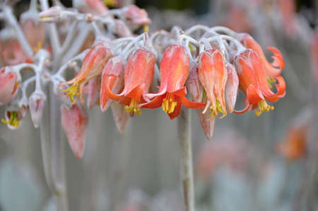 eudicots: Flowering succulent with orange flowers in Melbourne Stock Photo