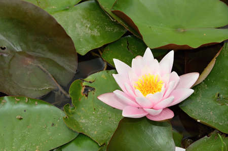 detail of pink Water lily with green leaves  on a lake