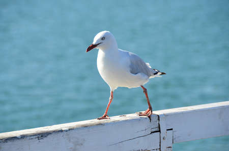chordates: Seagull with colored legs waiting on the pier