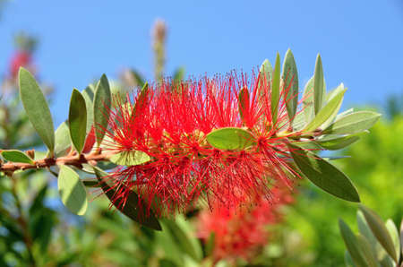 angiosperms: Red flowering bottlebrushes tropical flower Stock Photo