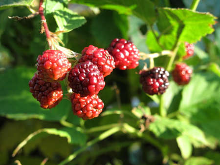 Close-up of immature blackberries fruit with prickly thorns 写真素材