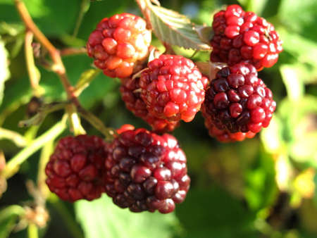 detail of immature blackberries fruit with prickly thorns