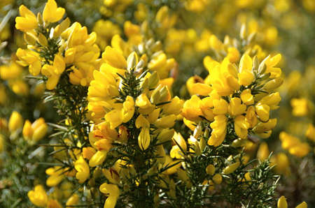 Close-up of Yellow Blooming Shrub on Scottish Highlands