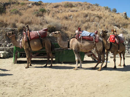 Saddle camels ready for cargo