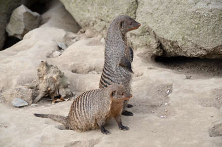 Brown mongoose bred in captivity