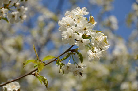 Close-up of flowering branch with white flowers Stok Fotoğraf