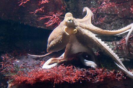 Octopus in de zee Stockfoto