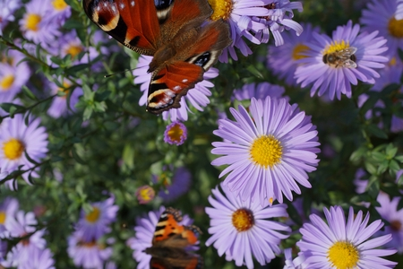 The picture shows a peacock butterfly on purple flowers