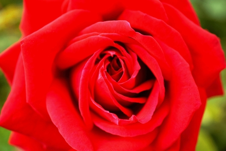 picture shows a red rose with green Imagens